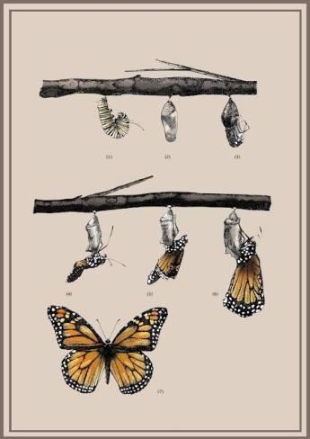 metamorfosis de la mariposa monarca - Belén Rodriguez Ilustradora