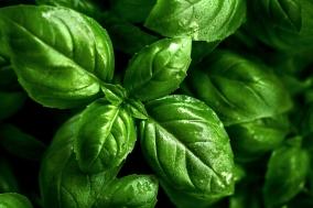 Closeup of tasty beautiful basil. Selective Focus.